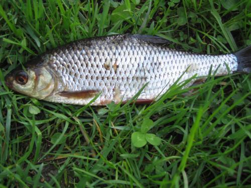 сорога 35 ру отчеты о рыбалке