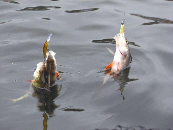 рыбалка на онеге налим