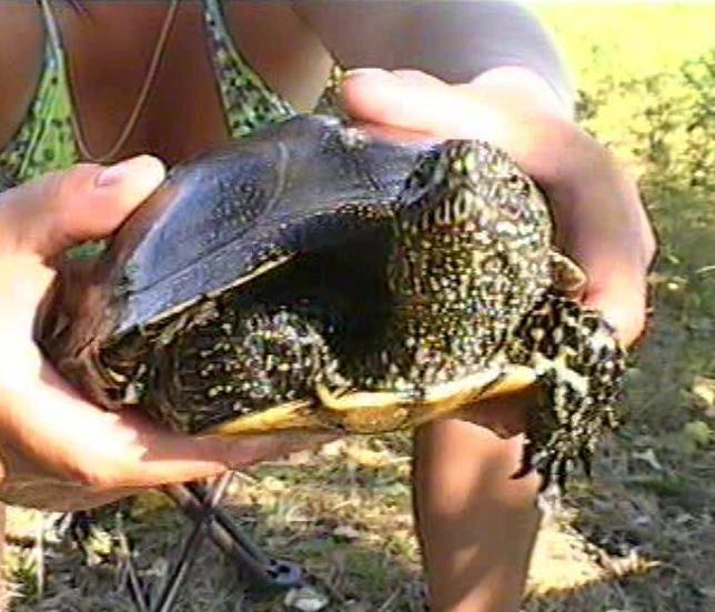 где клюет черепаха
